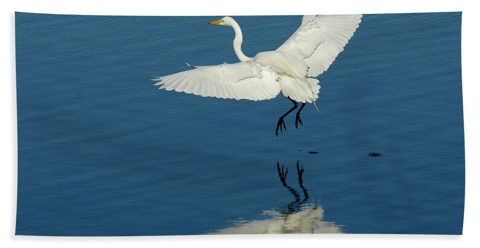 Egret Beach Towel featuring the photograph Great Egret Landing by Bob Christopher