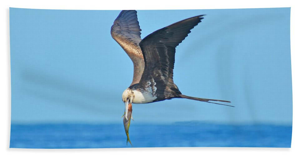 America Beach Towel featuring the photograph Great Frigate Bird by Chris Thaxter