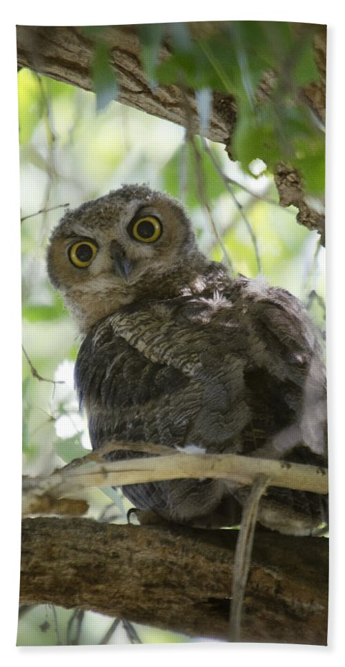 Great Horned Owl Beach Towel featuring the photograph Great Horned Owl Fledgling by Saija Lehtonen