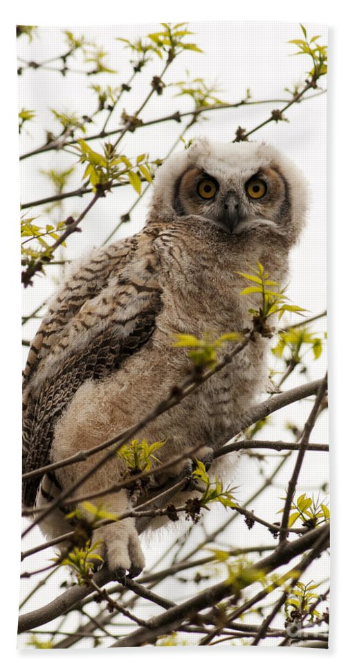 Great Horned Owlet Beach Towel featuring the photograph Great Horned Owlet by Vivian Christopher
