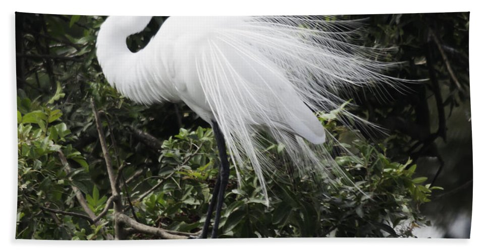 susan Molnar Beach Towel featuring the photograph Great White Egret Building A Nest Vii by Susan Molnar