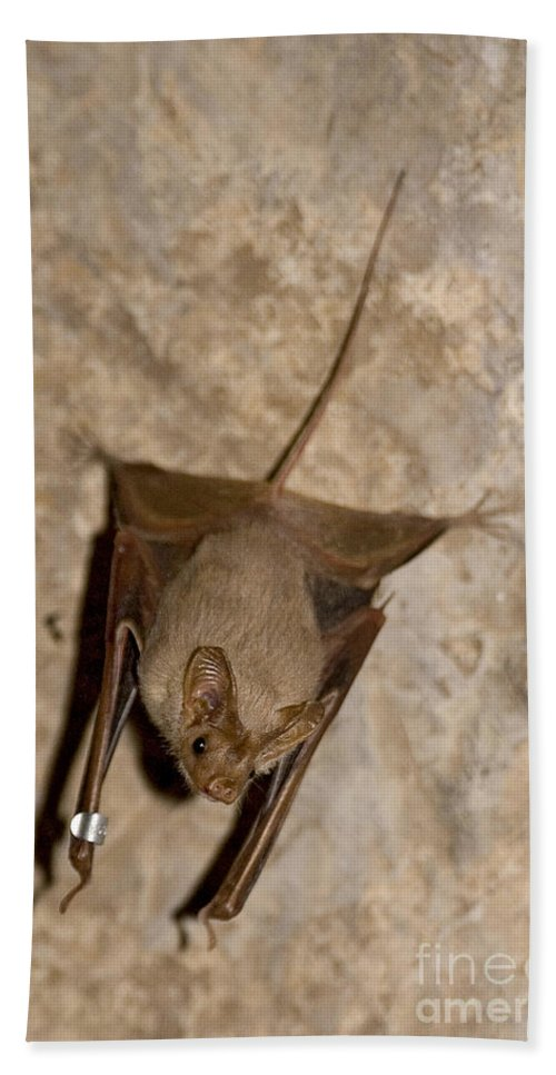 Mouse-tailed Bat Beach Towel featuring the photograph Greater Mouse-tailed Bat Rhinopoma Microphyllum by Eyal Bartov
