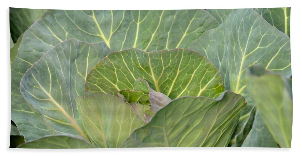 Green Cabbage Beach Towel featuring the photograph Green Cabbage by Maria Urso