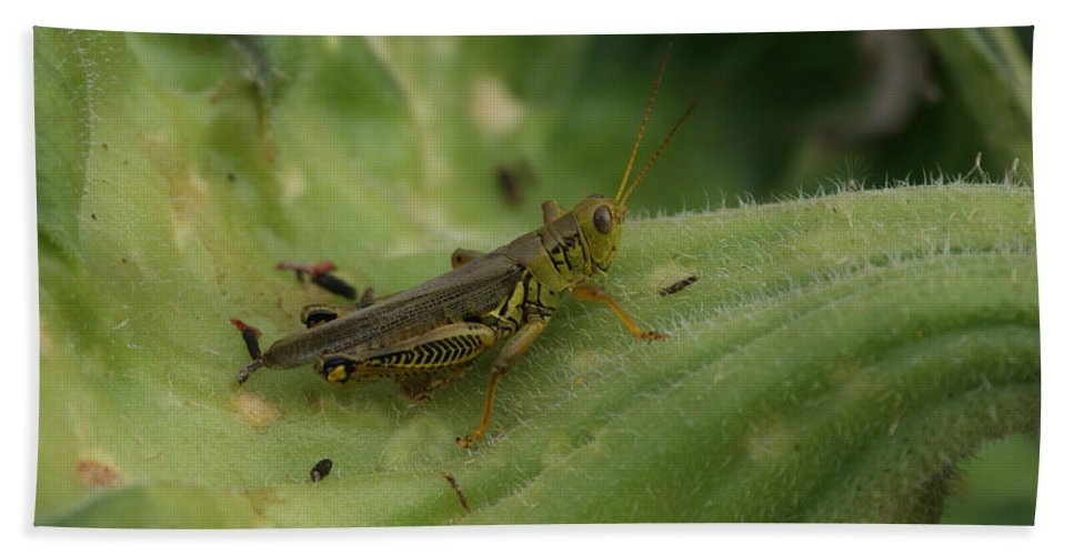 Green Beach Towel featuring the photograph Green Grasshopper by Rob Luzier