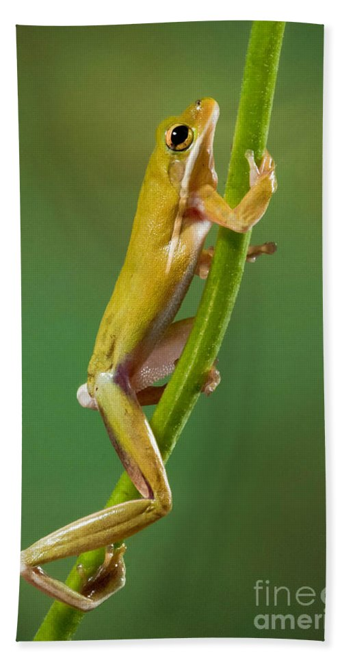 Green Tree Frog Beach Towel featuring the photograph Green Tree Frog Climbing by Jerry Fornarotto