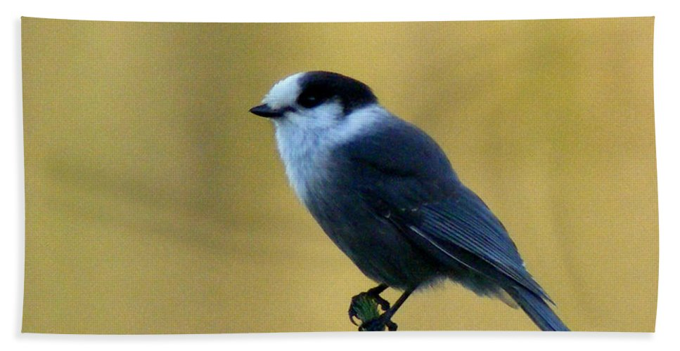 Grey Jay Beach Towel featuring the photograph Grey Jay by Barbara Griffin