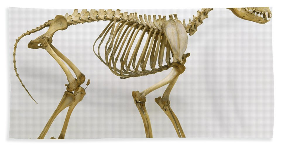 Grey Wolf, Canis Lupus, Skeleton Beach Sheet for Sale by Colin ...