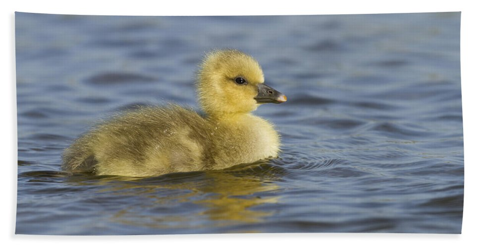 Nis Beach Towel featuring the photograph Greylag Goose Gosling Zeeland by Sytze Jongma