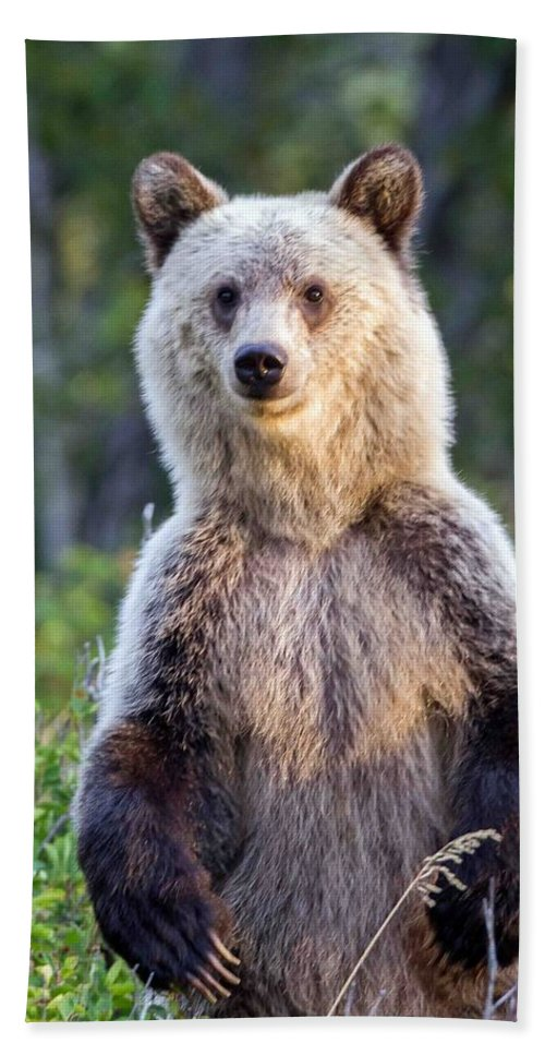 Grizzly Bear Beach Towel featuring the photograph Griz by Jack Bell