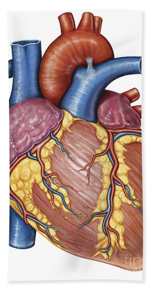 Gross Anatomy Of The Human Heart Beach Towel For Sale By Stocktrek