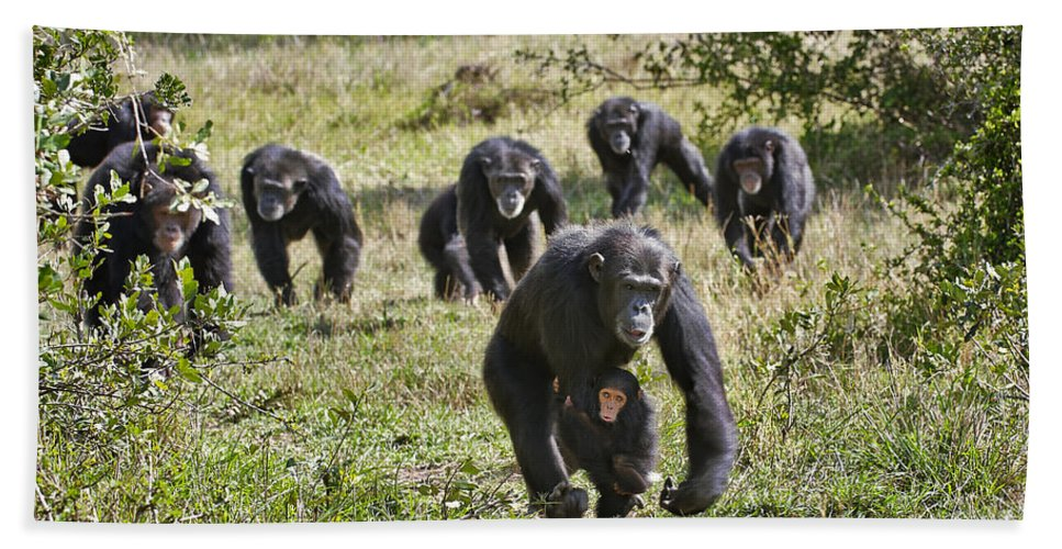 Sweetwater's Beach Towel featuring the photograph group of Common Chimpanzees running by Juergen Ritterbach