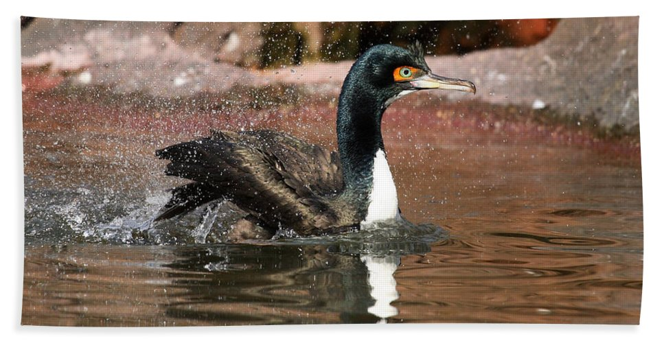 Cormorant Beach Towel featuring the photograph Guanay Cormorant by Karol Livote