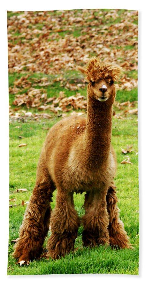 Barbara Snyder Beach Towel featuring the digital art Hairy Brown Gumby Aka Brown Alpaca by Barbara Snyder