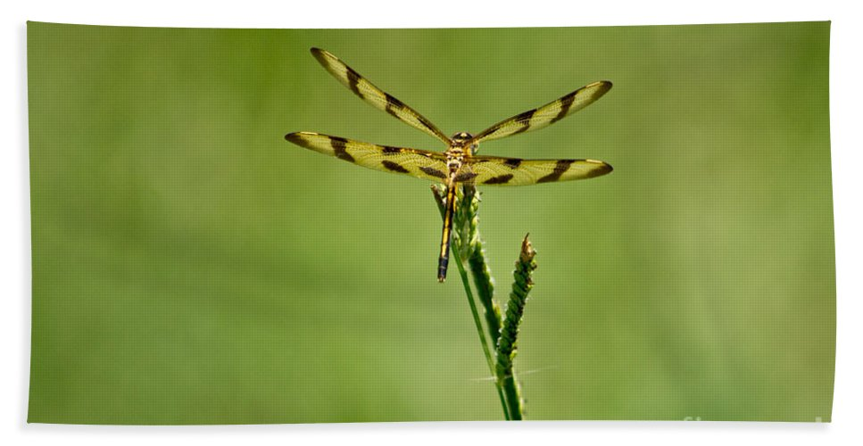 Dragon Beach Towel featuring the photograph Halloween Pennant Dragonfly by Scott Hervieux