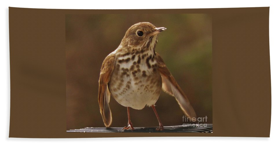 Bird Birds Beach Towel featuring the photograph Happy Hermit Thrush by Earl Williams Jr