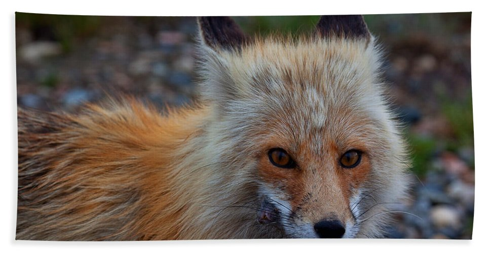 Fox Beach Towel featuring the photograph Heads Or Tails by Jim Garrison