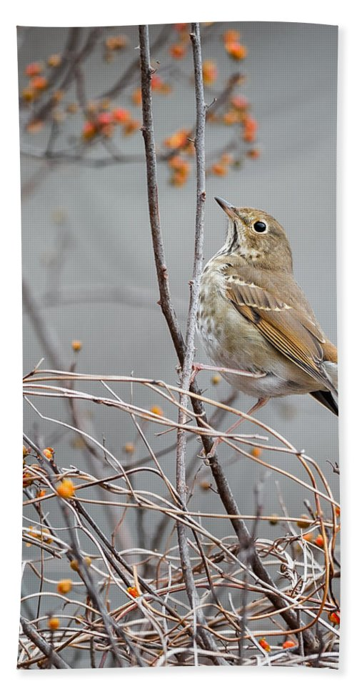 Small Bird Beach Towel featuring the photograph Hermit Thrush by Bill Wakeley
