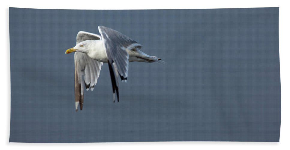 Flight Beach Towel featuring the photograph Herring Gull In Flight by Karol Livote