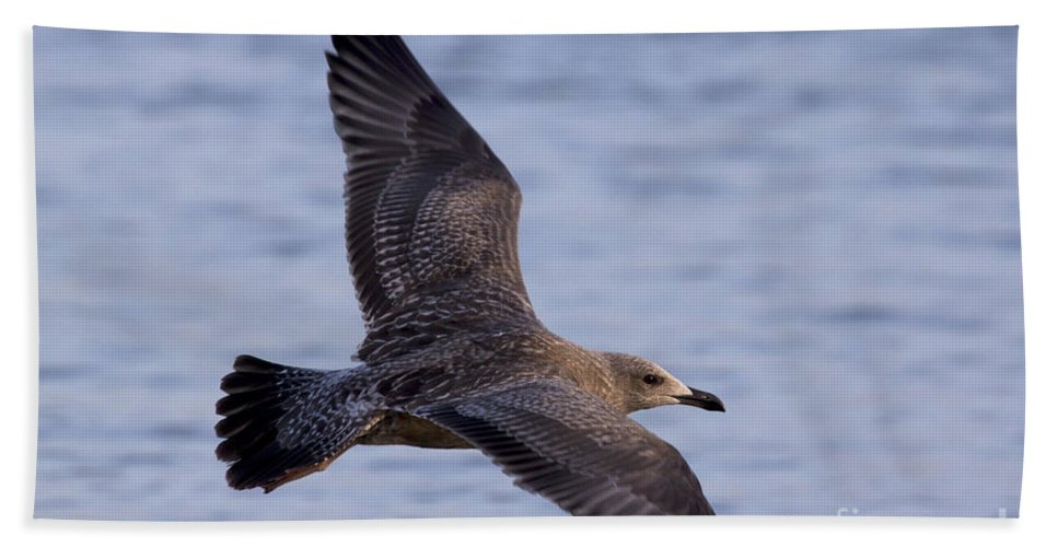 Herring Gull Beach Towel featuring the photograph Herring Gull In Flight Photo by Meg Rousher