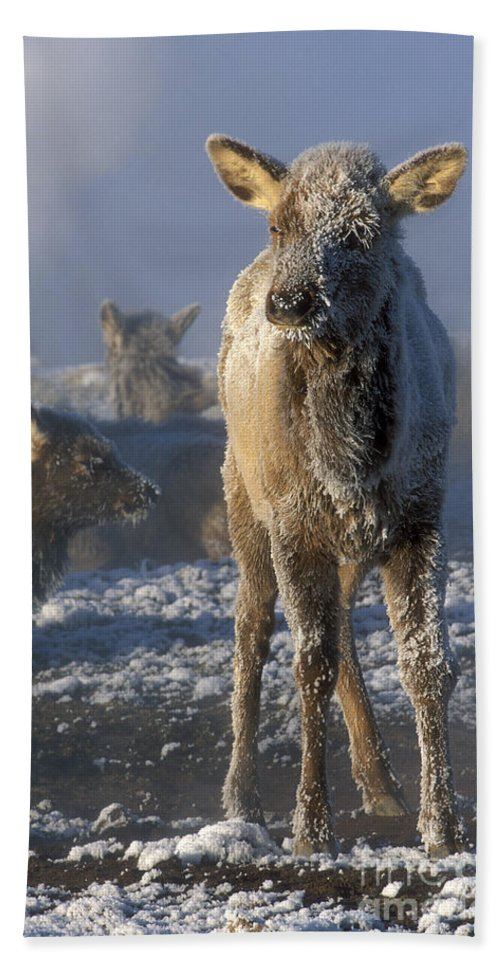 Yellowstone Beach Towel featuring the photograph Hoarfrosted Elk Calf by Sandra Bronstein