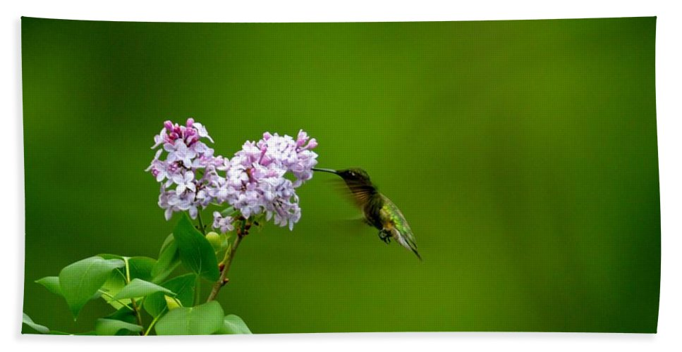 Ruby Throated Hummingbird Beach Towel featuring the photograph Hummingbird And Lilac by Thomas Phillips