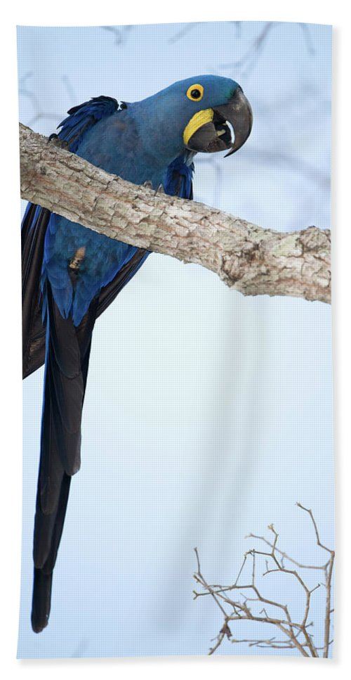 Photography Beach Towel featuring the photograph Hyacinth Macaw Anodorhynchus by Animal Images