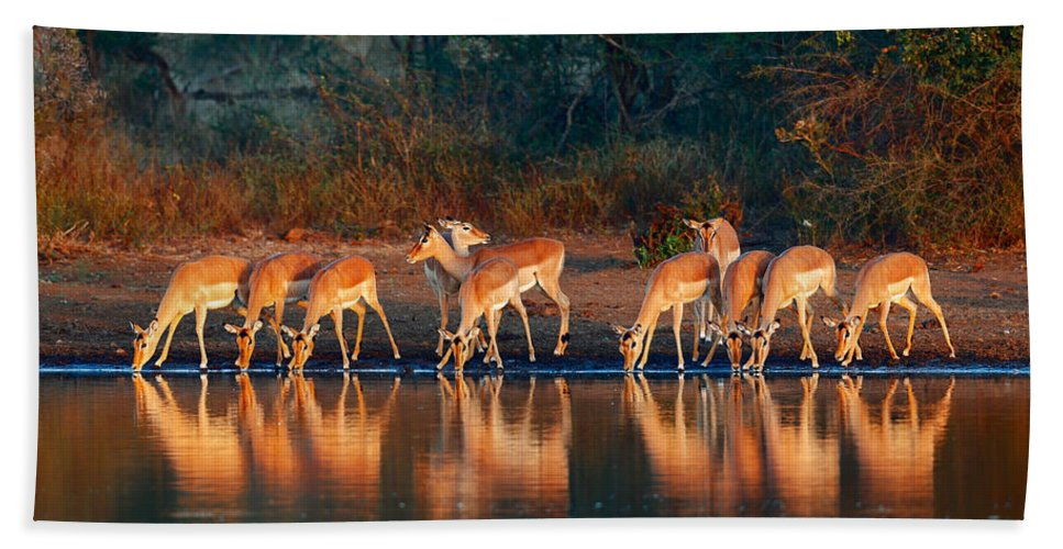Impala Beach Towel featuring the photograph Impala Herd With Reflections In Water by Johan Swanepoel