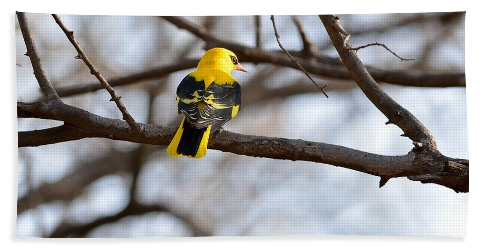 Indian Golden Oriole Beach Towel featuring the photograph Indian Golden Oriole by Fotosas Photography