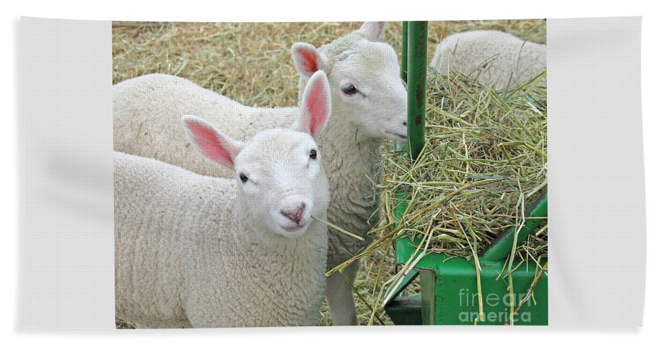 Lamb Beach Towel featuring the photograph Innocence by Ann Horn