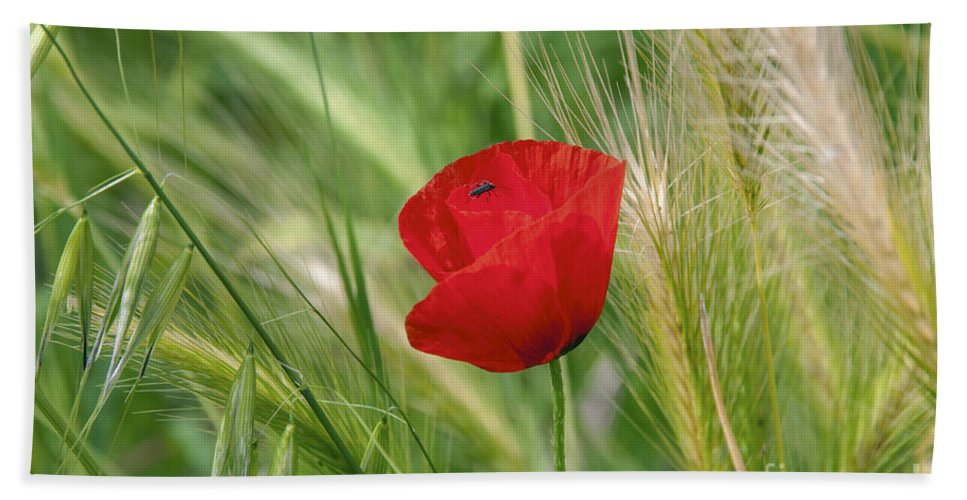 La Spezia Italy Poppy Poppies Plant Plants Grass Grasses Bug Bugs Beach Towel featuring the photograph Italian Poppy by Bob Phillips