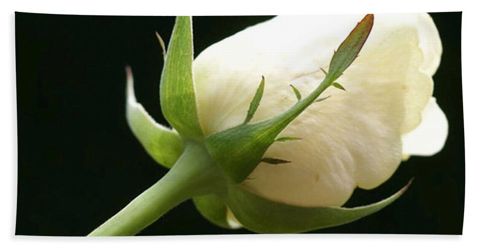 Ivory Beach Towel featuring the photograph Ivory Rose Bud by Carol Lynch