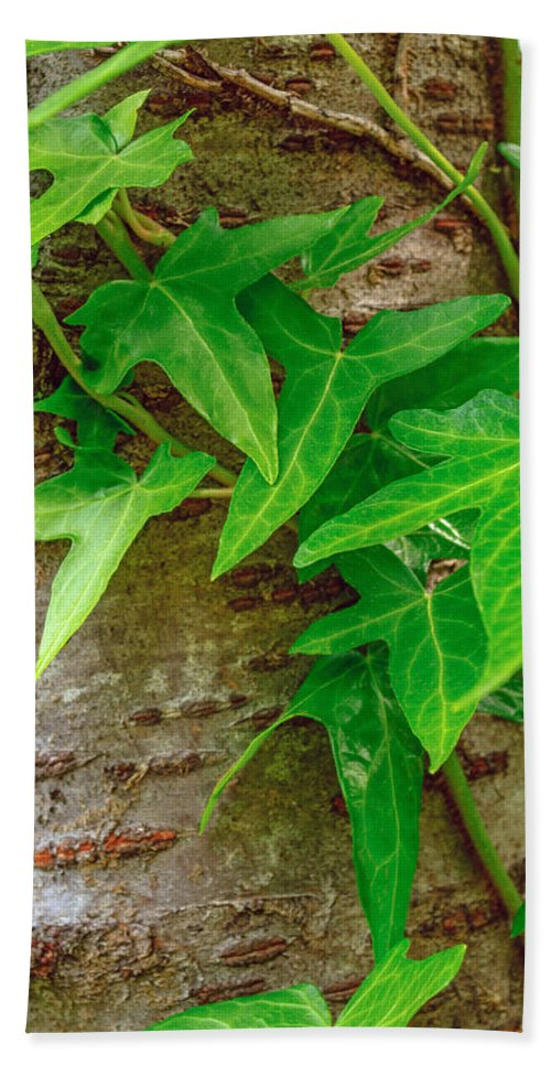 Nature Beach Towel featuring the photograph Ivy Wrapped Tree Trunk by Tikvah's Hope