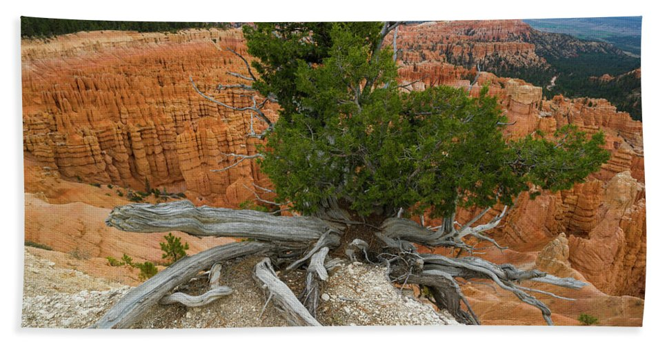 Photography Beach Towel featuring the photograph Juniper Tree Clings To The Canyon Edge by Panoramic Images