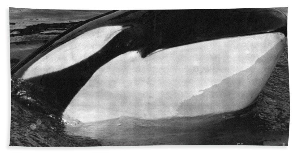 Kandu Beach Towel featuring the photograph Kandu Orca Seattle Aquarium 1969 Pat Hathaway Photo Killer Whale Seattle by California Views Archives Mr Pat Hathaway Archives