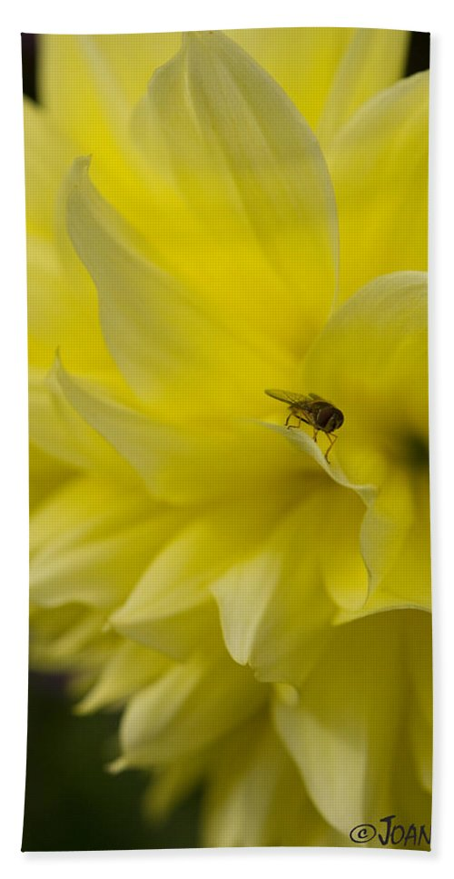 Dahlia Beach Towel featuring the photograph Kelvin Floodlight Dahlia by Joan Wallner