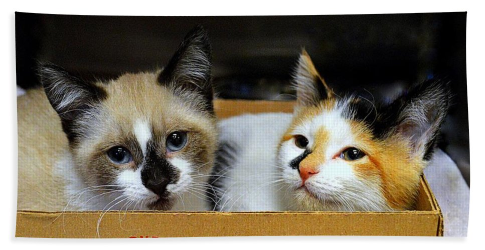 Kittens Beach Towel featuring the photograph Kittens In A Box by Catherine Sherman