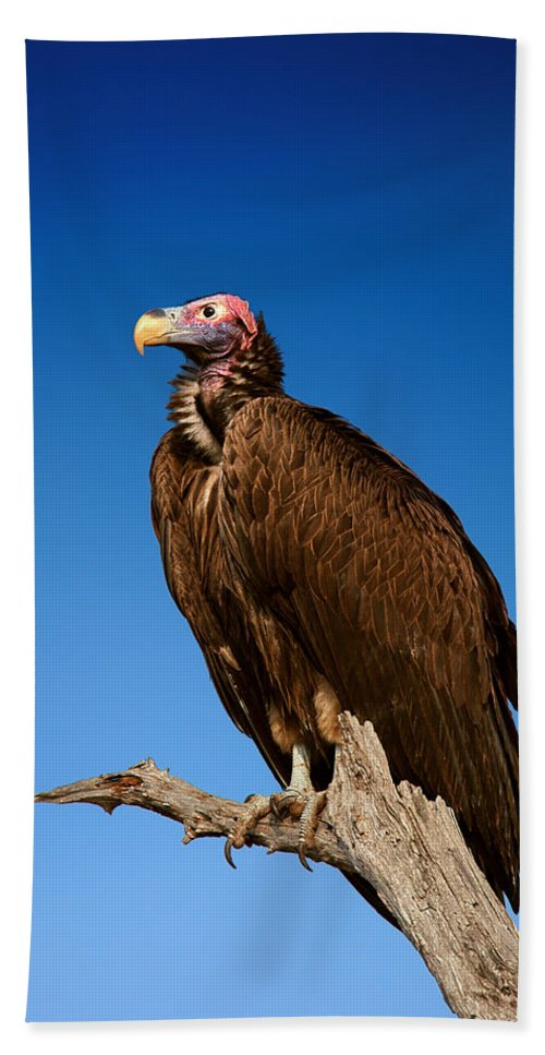 Vulture Beach Towel featuring the photograph Lappetfaced Vulture Against Blue Sky by Johan Swanepoel