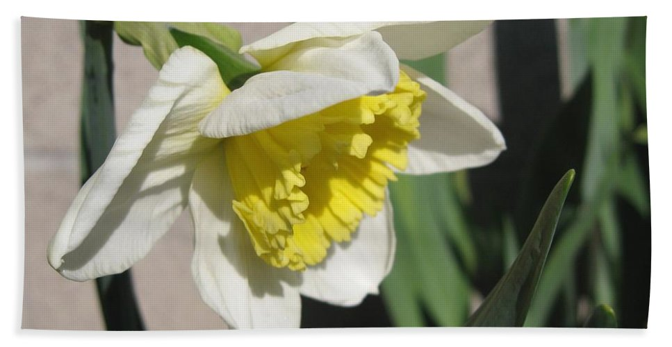 Mccombie Beach Towel featuring the photograph Large-cupped Daffodil Named Ice Follies by J McCombie