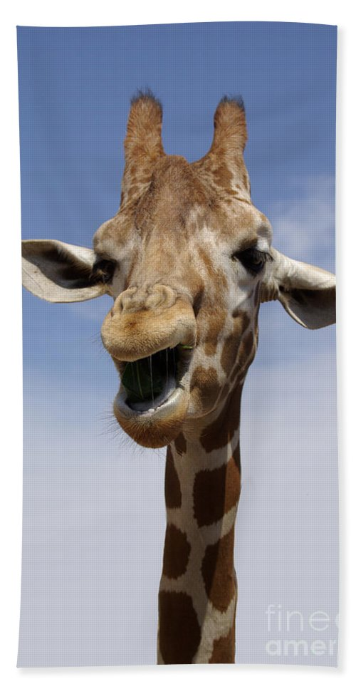 Laugh Beach Towel featuring the photograph Laughing Giraffe by Jim And Emily Bush