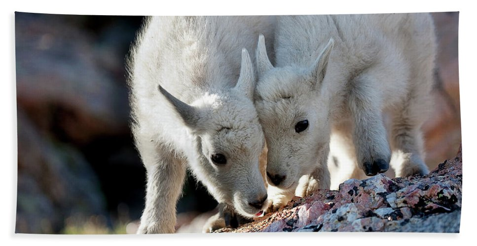 Baby Goat; Mountain Goat Baby; Happy; Joy; Nature; Brothers Beach Towel featuring the photograph Lean On Me by Jim Garrison