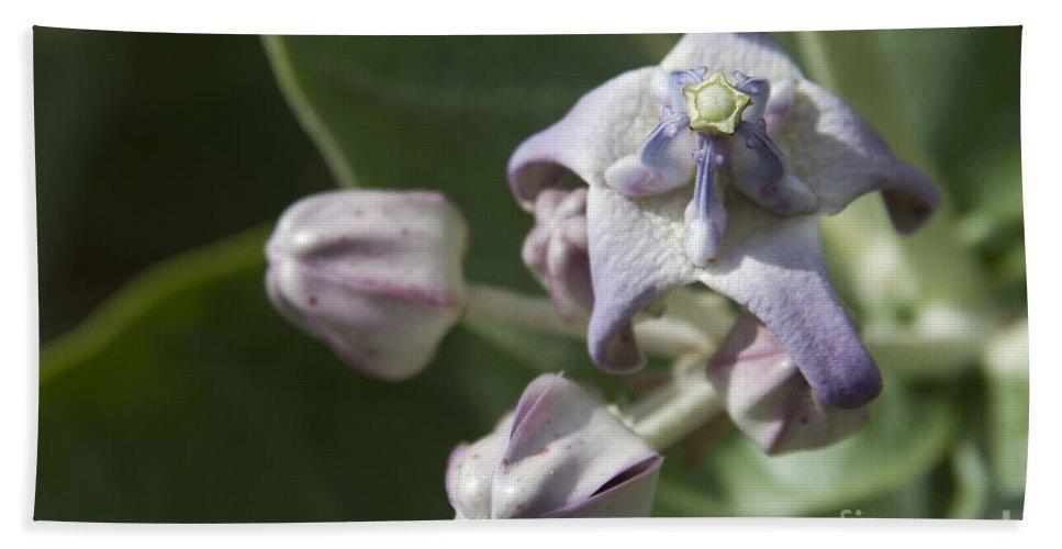 lei pua kalaunu crown flower calotropis gigantea