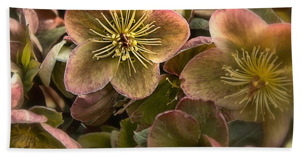 Pink Beach Towel featuring the photograph Lenten Roses by Mel Hensley