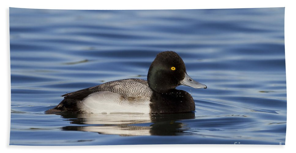 Scaup Beach Towel featuring the photograph Lesser Scaup by Bryan Keil