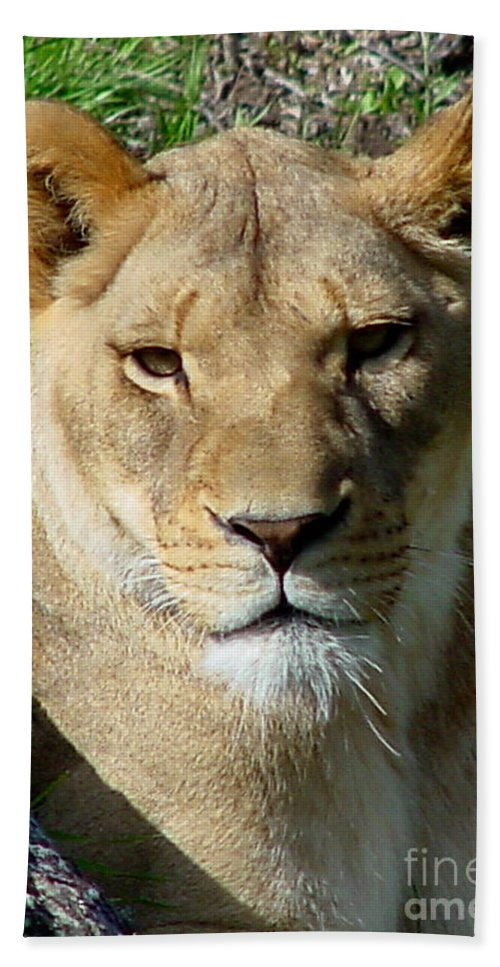 Lion Beach Towel featuring the photograph Lioness by Gary Gingrich Galleries