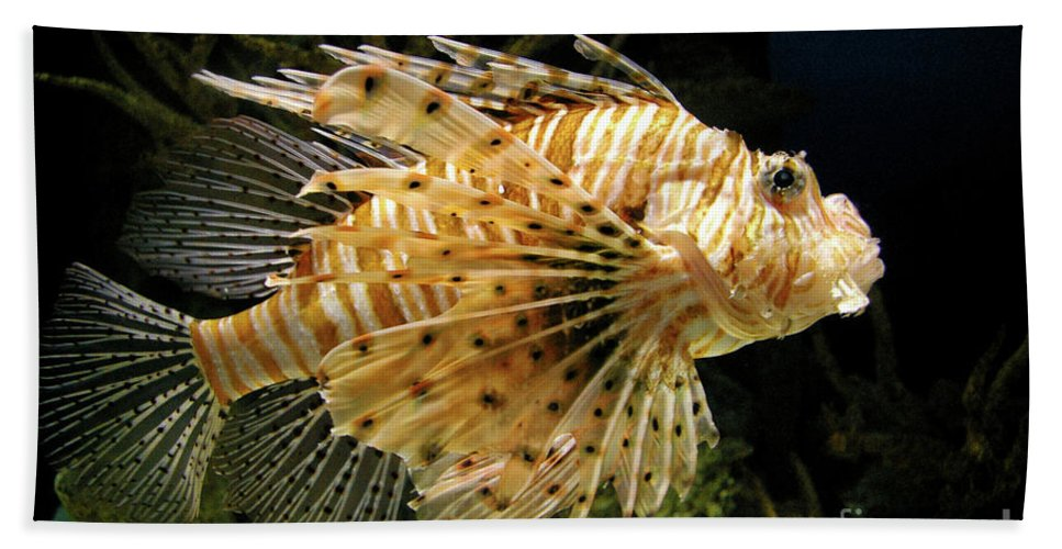 Lionfish Beach Towel featuring the photograph Lionfish Searching For Its Prey by Mariola Bitner