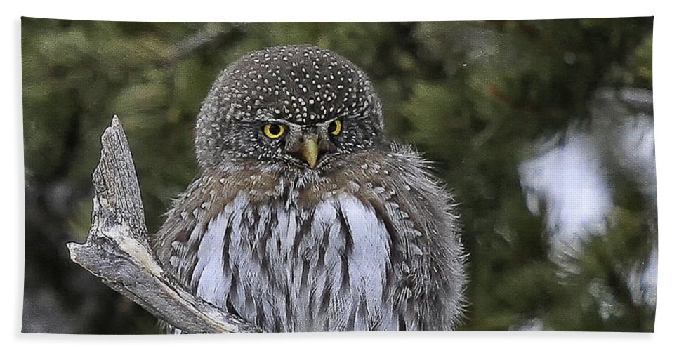 Wildlife Beach Towel featuring the photograph Little One - Northern Pygmy Owl by Elaine Haberland
