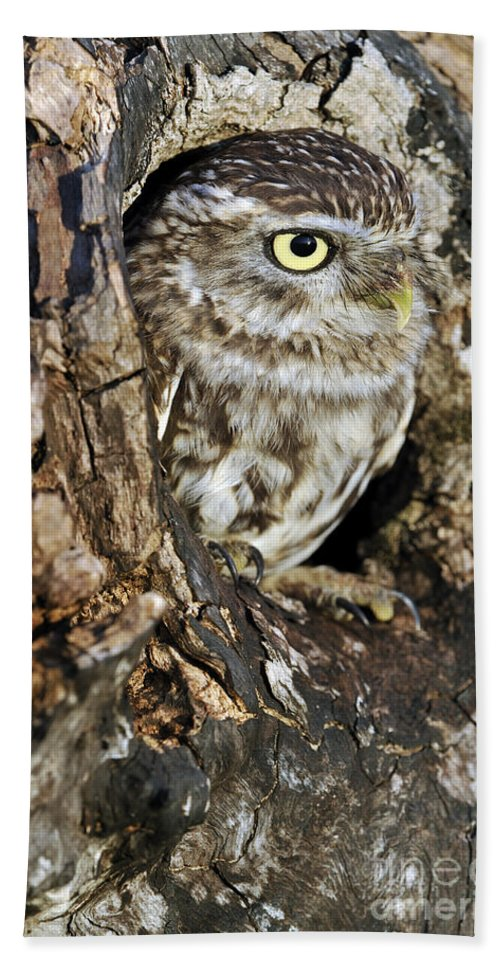 Little Owl Beach Towel featuring the photograph Little Owl In Hollow Tree by Arterra Picture Library