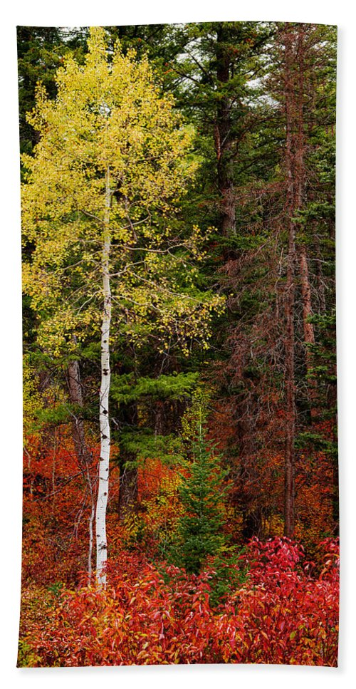 Lone Aspen In Fall Beach Towel featuring the photograph Lone Aspen In Fall by Chad Dutson