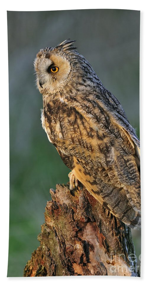 Long-eared Owl Beach Towel featuring the photograph Long-eared Owl 8 by Arterra Picture Library