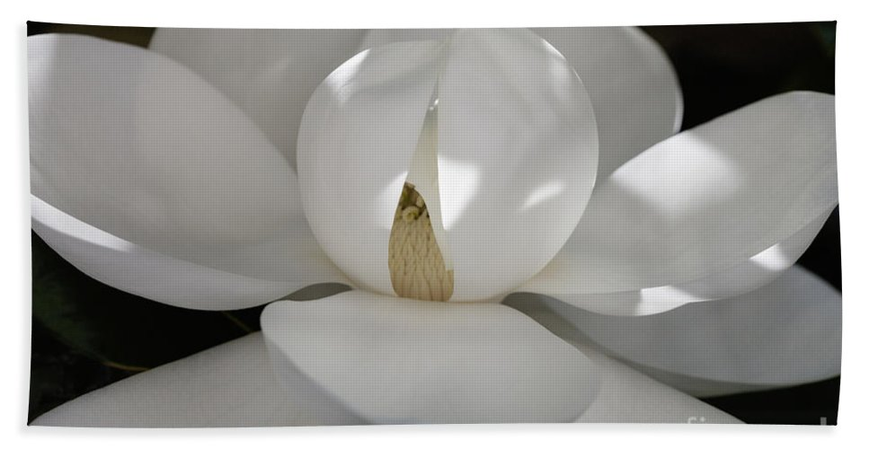 Magnolia Grandiflora Beach Towel featuring the photograph Magnolia Beauty - 3 by Diane Macdonald